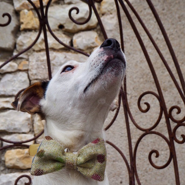 Dog Bowtie - Multispot Lime