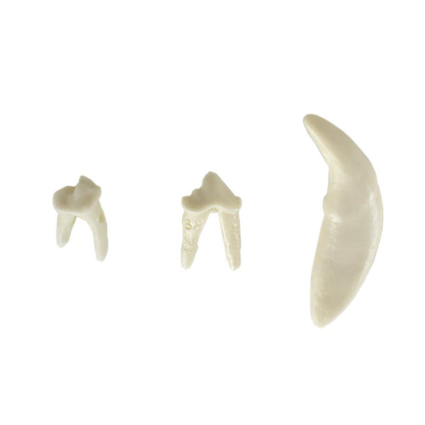 Shop online at Serona.ca for veterinary dental Canine Lower Right Quadrant, Dentoform Replacement Teeth, which are available in various different tooth sizes.