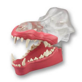 Veterinary Dental Canine Dentoform Model with Gingiva, transparent.
