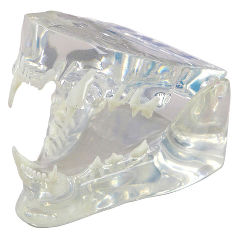 Shop online for canine, feline, and rabbit dental jaw models. Models are transparent for root anatomy visualization. Removable teeth are available.