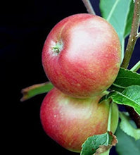 Load image into Gallery viewer, Apple 'Crimson Bramley'