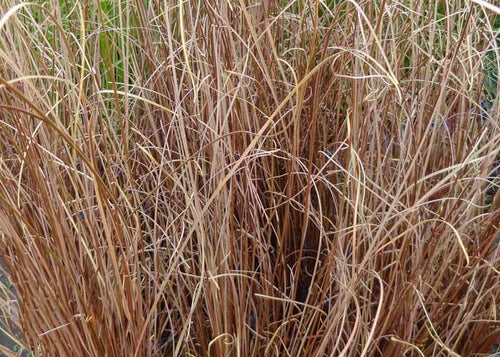 Buchanen's Sedge (Carex buchananii)