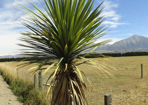 Cabbage Tree (Cordyline australis)