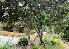 Load image into Gallery viewer, Ralph's Kohuhu (Pittosporum ralphii)