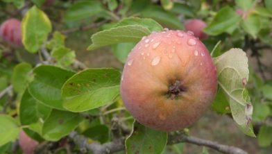 Apple 'Reinette du Thorn'