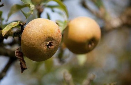 Apple 'Egremont Russet'