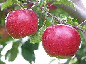 Apple 'Ida Red'