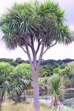 Load image into Gallery viewer, Cabbage Tree (Cordyline australis)