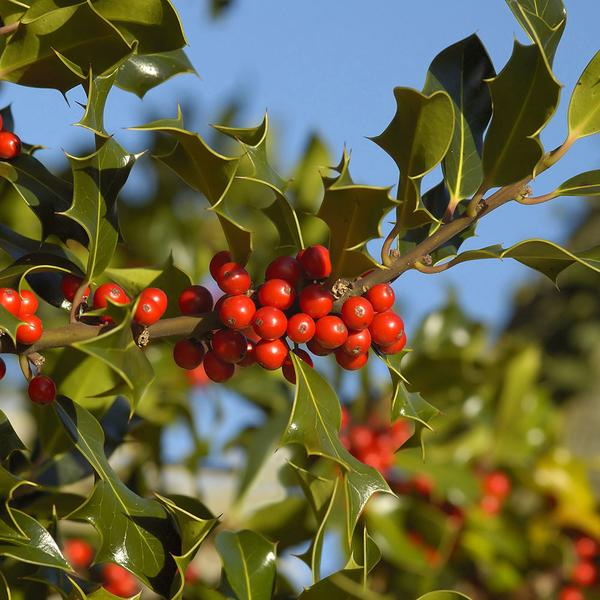 Holly (Ilex aquafolium)