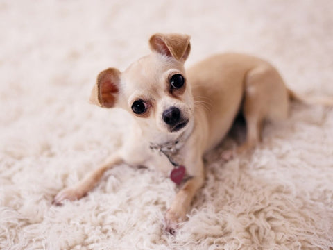 the ultimate guide to chihuahua dogs and puppies