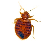 Bedbug Control Products