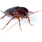 Cockroach Control Products