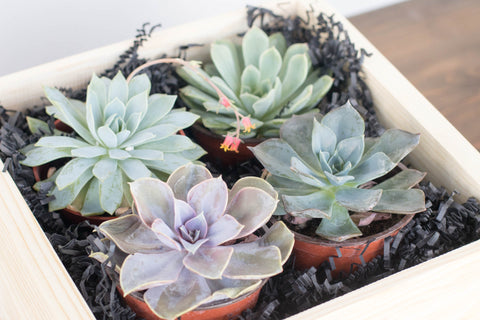 Succulent Gift Box | BrilliantGifts.com
