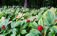 Load image into Gallery viewer, 5 LB's Premium American Ginseng Seeds - Dairyland Management LLC