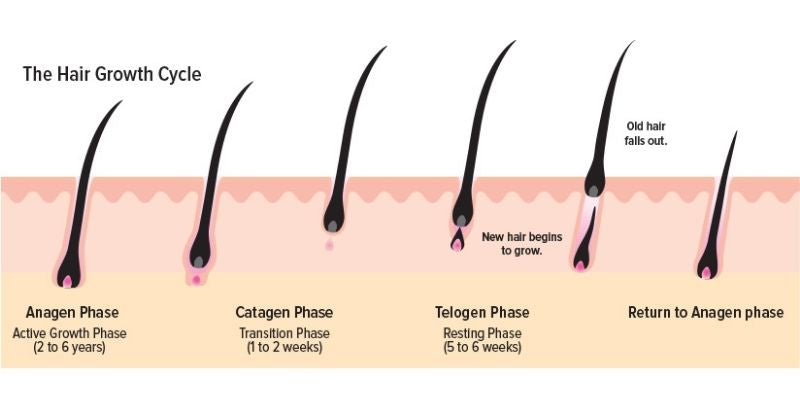 how to regrow hair-hair growth cycle
