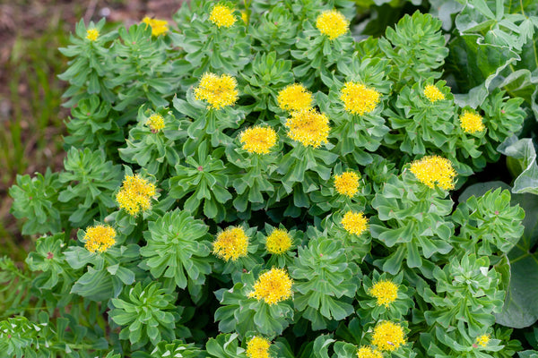 What Are the Benefits of Rhodiola?