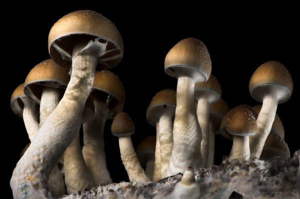 Magic(al) Mushrooms: Mushrooms as Psychedelics and Superfoods