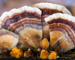 Learn about the history and benefits of the turkey tail mushroom, as well as easy ways to incorporate it into your wellness and vitality routine.