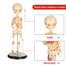 Load image into Gallery viewer, Anatomical Human Baby Skeleton (36cm )