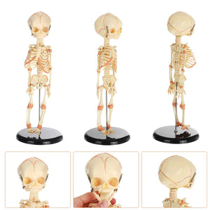 Anatomical Human Baby Skeleton (36cm )