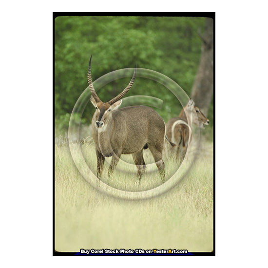 "African Antelopes - Corel Stock Photo CD #77000 <text id=""ICOA""></text>"