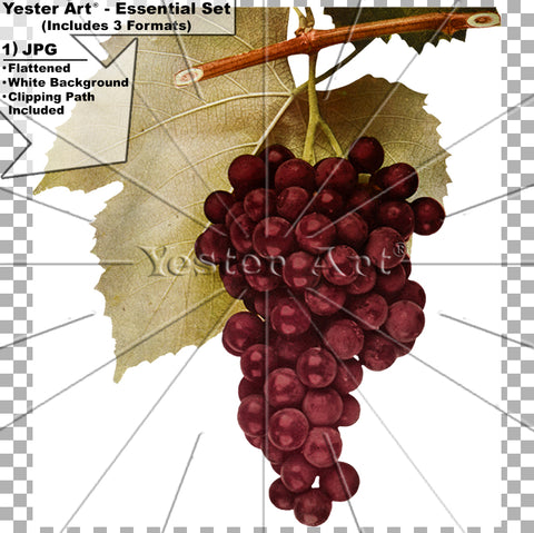 Image of Grapes with Stem & Leaves (Type: Brighton). Circa: 1908