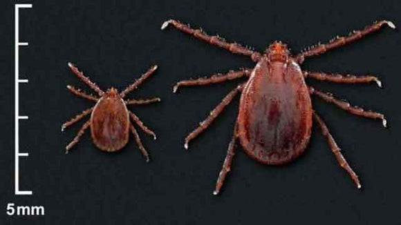 Asian Longhorned Ticks Coming Your Way?