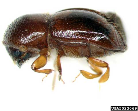Xylosandrus germanus adult (ambrosia beetle). Photo provided by: Pennsylvania Department of Conservation and Natural Resources – Forestry Archive, Bugwood.org