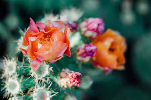 Cactus Flower - Photo by Adrianna Calvo from Pexels