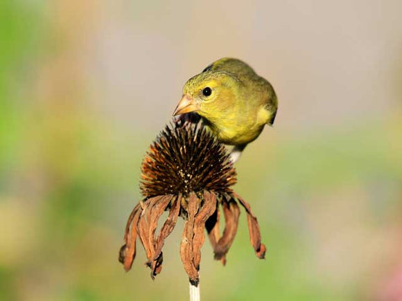 Finch on Echinacea - Coneflower