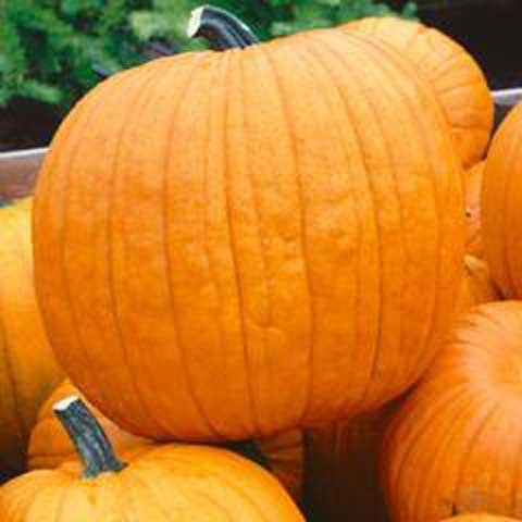 Pumpkin Howden - Credit National Garden Bureau
