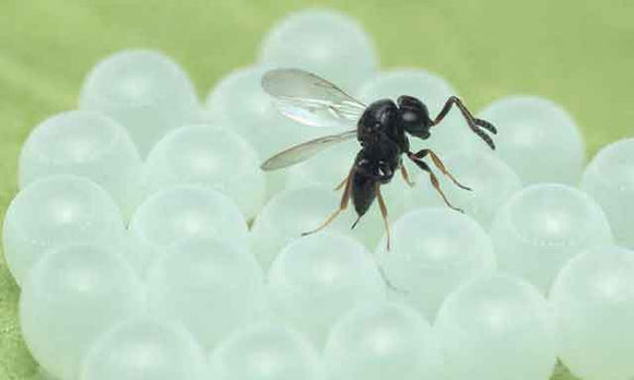 Samurai wasp. Photo credit: Oregon State University