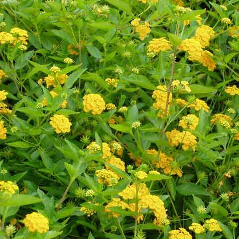 Ground cover shrubs collections