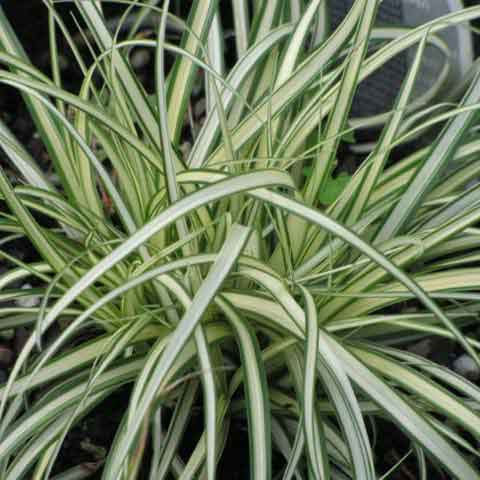 Acorus and Carex - For Wet Soil