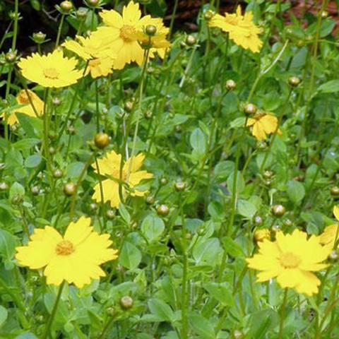 Coreopsis - Tickseed collections