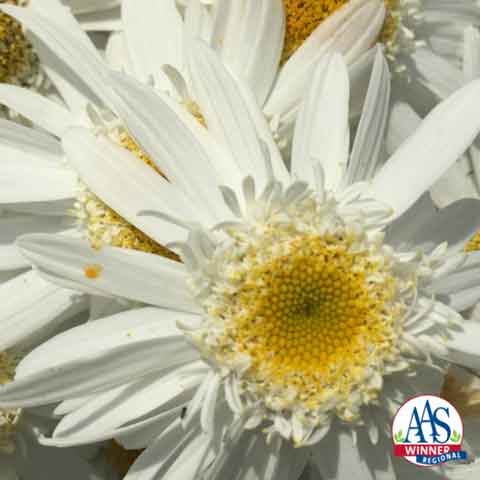 Sweet Daisy™ Birdy Leucanthemum - Permission of AAS