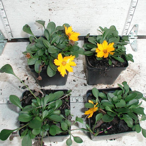 Coreopsis auriculata 'Nana' in 3-1/2 inch Pots