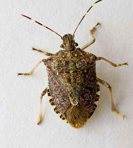 Brown mamorated stink bug. Photo credit: Oregon State University