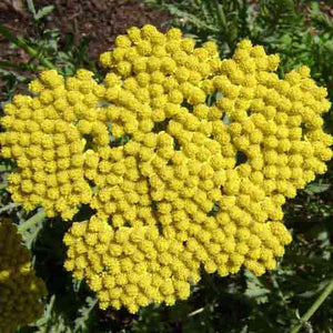 Achillea 'Coronation Gold' bright yellow flowers attract butterflies