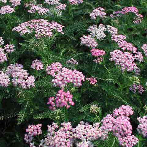 Achillea 'Oertel's Rose' soft pink flowers attracts butterflies