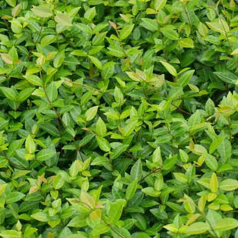 Asiatic jasmine foliage is glossy, leathery and evergreen.
