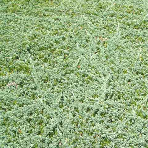 Blue Rug - Wiltonii - Juniper is a fine, low-growing ground cover for medium to large areas