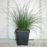 Carex appalachica - Appalachian Sedge in 3.5 inch pots