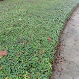 Asiatic jasmine ground cover suppresses weeds with dense growth
