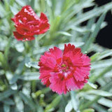 Dianthus 'Fire Star' detail