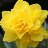 Narcissus Dick Wilden single - GoGardenNow