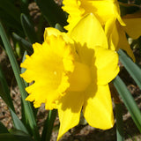Narcissus Dutch Master - GoGardenNow