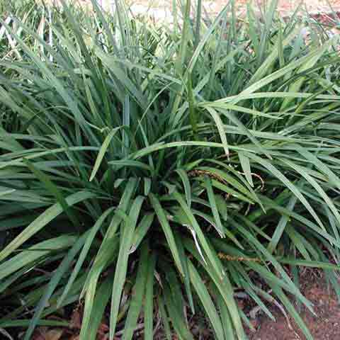 Liriope 'Emerald Goddess' with long dark leaf blades