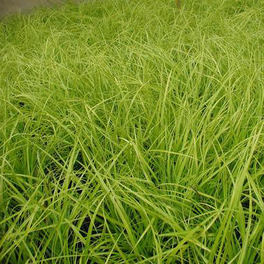 Carex 'Everillo' - 3.5 inch Pots (Minimum Quantity: 25 Plants)