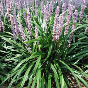 Liriope muscari 'Ingwersen' with long, full flower spikes in mid-summer